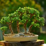 An Overview To Bonsai Trees For Beginners